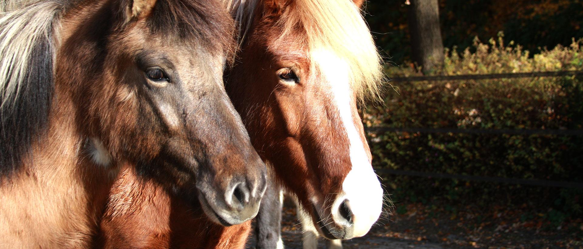 reitschule_berger_zwei_pferde_blicken
